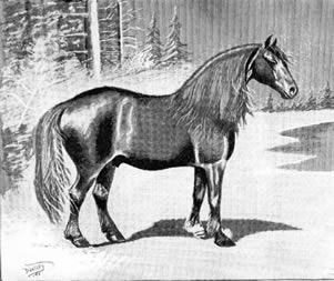 Illustration of Canadian horse from John Dimon's Horses and Horse Breeding, 1895, representing the breed as it appeared 50 years earlier..